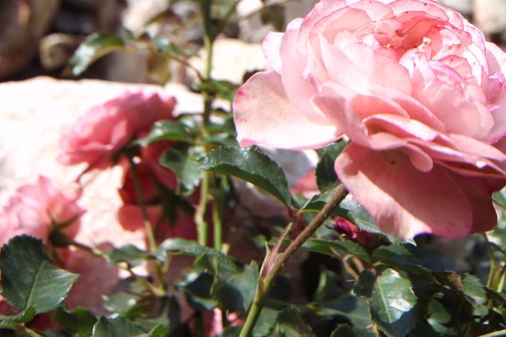 Натерритории «Лужников» появится сад-розарий